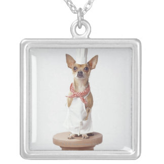 Chihuahua dog wearing chef's whites, studio shot silver plated necklace