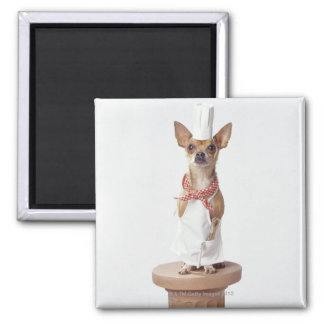 Chihuahua dog wearing chef's whites, studio shot square magnet