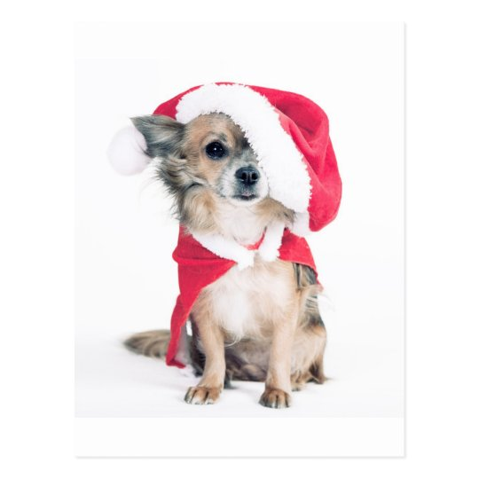 Chihuahua in Christmas costume Postcard