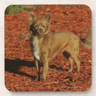 Chihuahua Looking at Camera Coaster