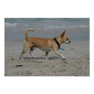 Chihuahua on Beach Poster