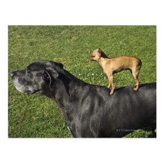 Chihuahua on Great Dane's back 2 Postcard