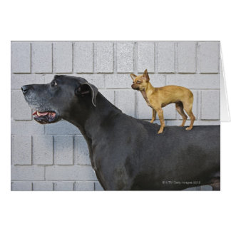 Chihuahua on Great Dane's back Card