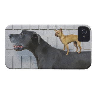 Chihuahua on Great Dane's back iPhone 4 Covers