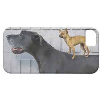 Chihuahua on Great Dane's back iPhone 5 Case