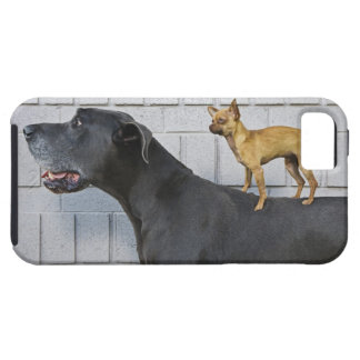 Chihuahua on Great Dane's back iPhone 5 Cases