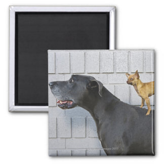 Chihuahua on Great Dane's back Magnet
