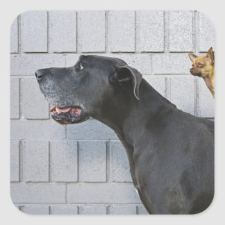 Chihuahua on Great Dane's back Square Sticker