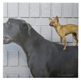 Chihuahua on Great Dane's back Tile