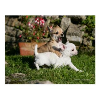 Chihuahua Puppy Playing Postcard