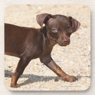 Chihuahua Puppy Walking Beverage Coasters