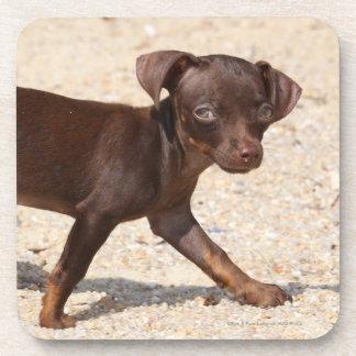 Chihuahua Puppy Walking Coaster