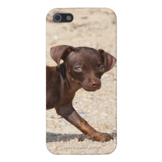 Chihuahua Puppy Walking iPhone 5/5S Cover
