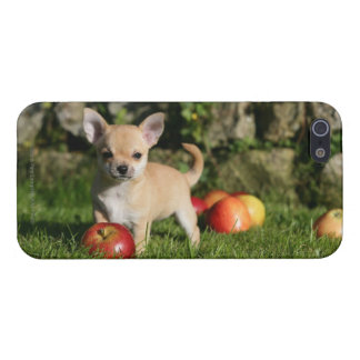 Chihuahua Puppy with Apples iPhone 5/5S Case