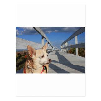 Chihuahua Sappy Goes Sea Side! Postcard