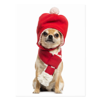 Chihuahua Wearing Christmas Hat And Scarf Postcard