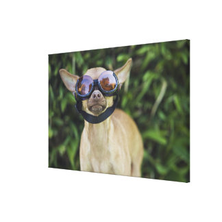 Chihuahua wearing goggles canvas print