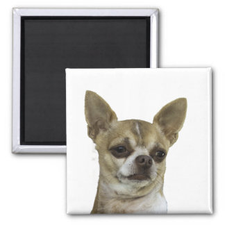 Chihuahua with Attitude Fridge Magnets