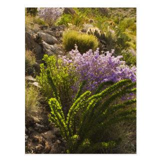 Chihuahuan desert plants in bloom postcard