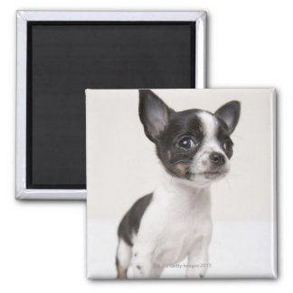 Chihuhua puppy standing on white fabric magnet
