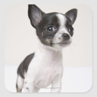 Chihuhua puppy standing on white fabric square sticker