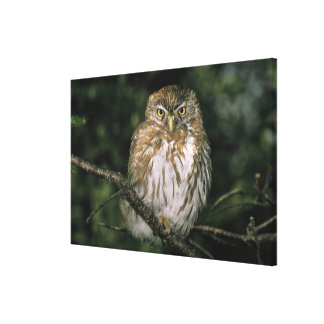 Chile, Aysen. Autral Pygmy Owl (Glaucidium Canvas Print