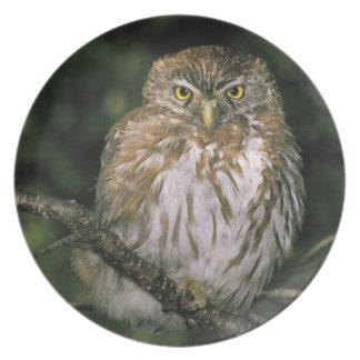 Chile, Aysen. Autral Pygmy Owl (Glaucidium Plate