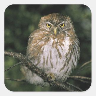 Chile, Aysen. Autral Pygmy Owl (Glaucidium Square Sticker