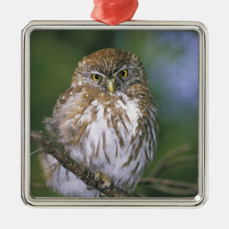 Chile, Aysen. Juvenile Autral Pygmy Owl Christmas Ornament