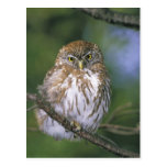 Chile, Aysen. Juvenile Autral Pygmy Owl Postcard