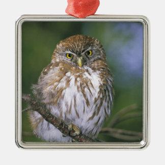 Chile, Aysen. Juvenile Autral Pygmy Owl Silver-Colored Square Decoration
