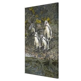 Chile, Chiloe Island, Humboldt Penguins, Stretched Canvas Prints