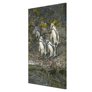 Chile, Chiloe Island, Humboldt Penguins, Gallery Wrapped Canvas