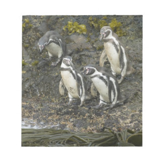 Chile, Chiloe Island, Humboldt Penguins, Notepad