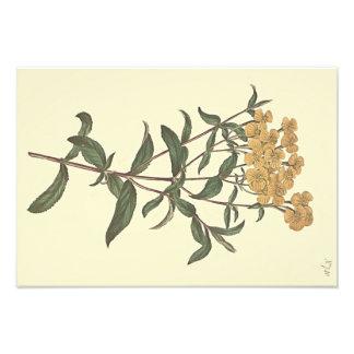 Chili Marigold Botanical Illustration Art Photo
