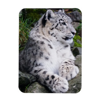 Chilled Out Snow Leopard Magnet