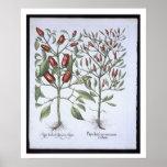 Chilli Pepper plants, from the 'Hortus Eystettensi Poster