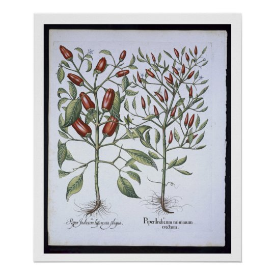 Chilli Pepper plants, from the 'Hortus Eystettensi Poster