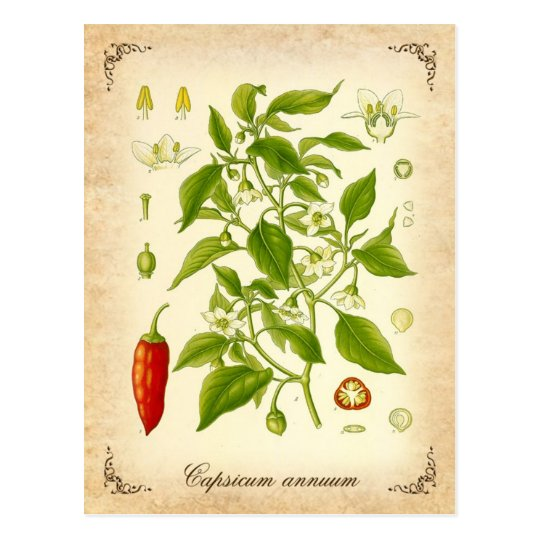 Chilli Pepper - vintage illustration Postcard
