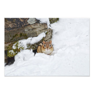 Chilly Little Chipmunk in the Snow Photo Print
