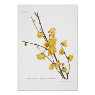 Chimonanthus fragrans print