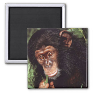 Chimpansee Square Magnet