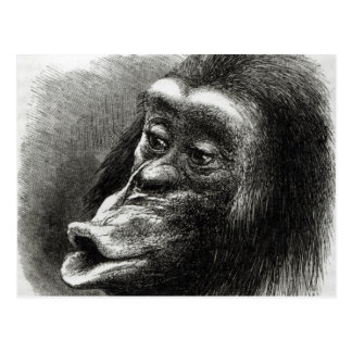 Chimpanzee Disappointed and Sulky Postcard