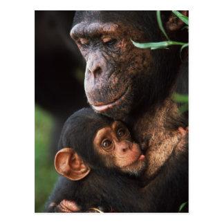 Chimpanzee Mother Nurturing Baby Postcard