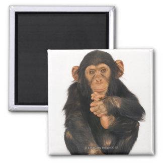 Chimpanzee (Pan troglodytes) Magnet