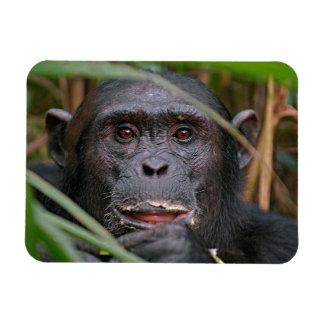 Chimpanzee (Pan Troglodytes) Peeping From Behind Rectangular Photo Magnet