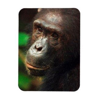 Chimpanzee (Pan troglodytes) Portrait in Forest Vinyl Magnet