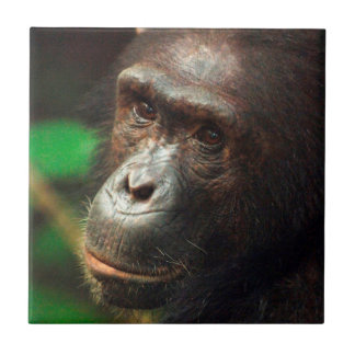 Chimpanzee (Pan troglodytes) Portrait in Forest Tile
