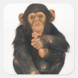 Chimpanzee (Pan troglodytes) Square Sticker
