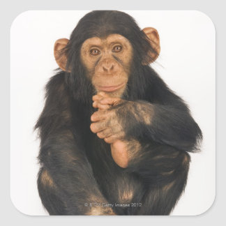 Chimpanzee (Pan troglodytes) Square Sticker